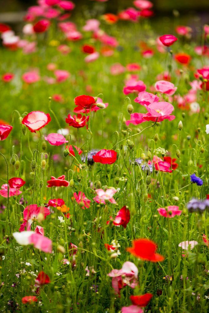 Gallery_Sun_trail_Wildflower_meadows_brigits_Garden_galway